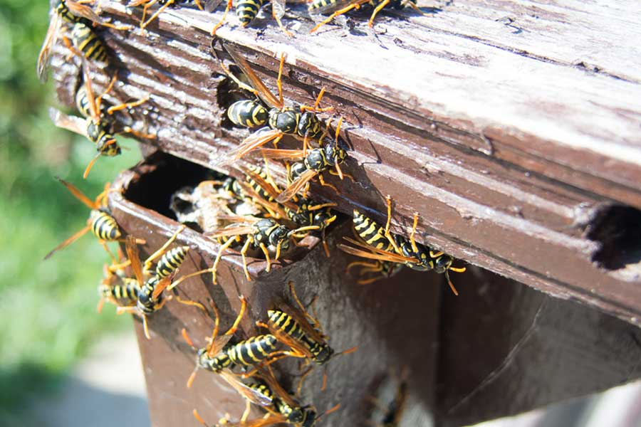 Hornet & Yellow Jacket Extermination