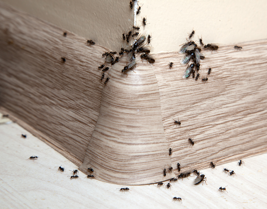 Just Bugs Pest Control Stops Ant Invasions in Medford, OR