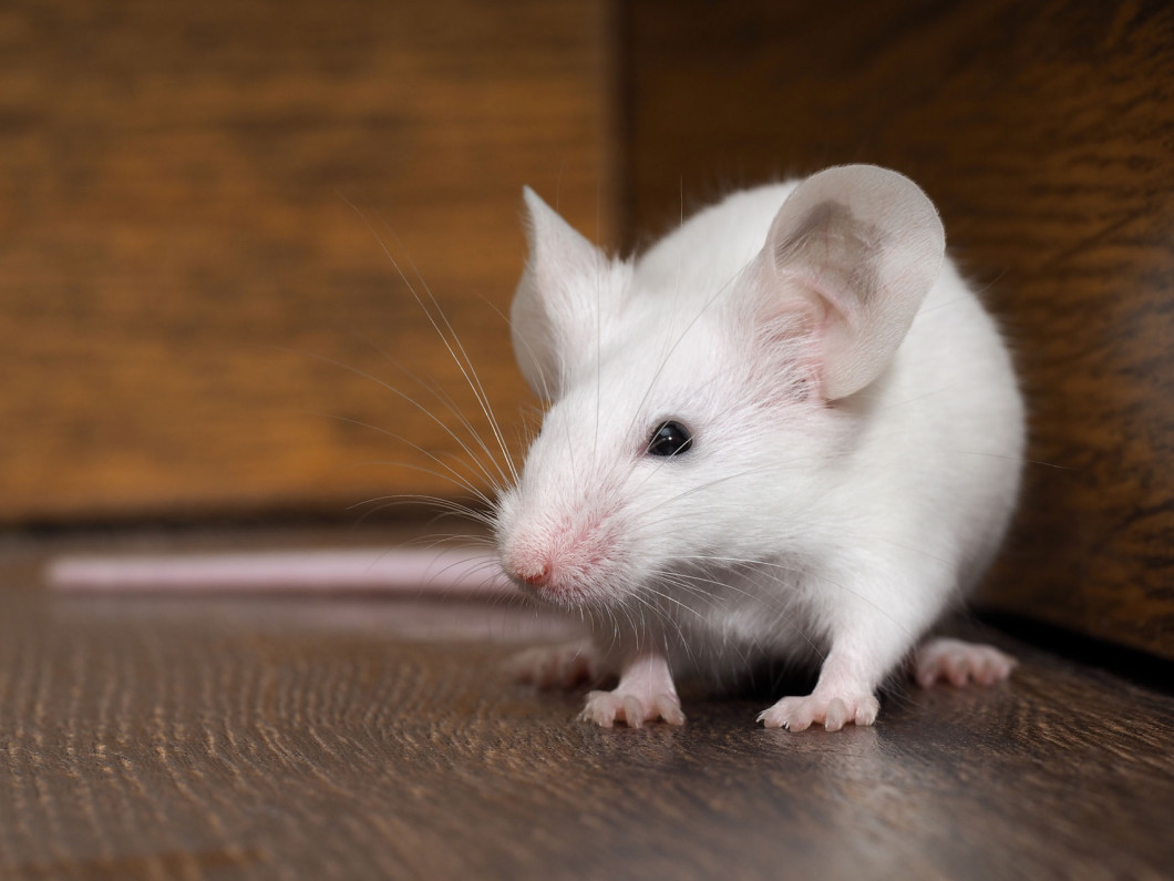 Rat Control & Removal Services You Can Count On